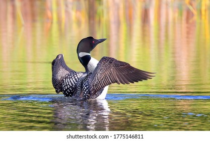 Common Loon breaching the water to stretch and dry its feathers in the morning on White Lake, Ont, Canada