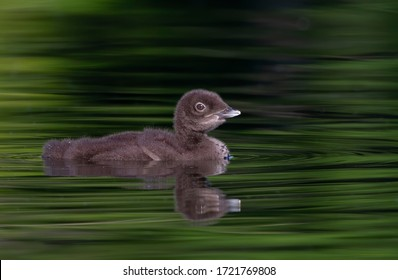 Common Loon chick (Gavia immer) swimming on a reflective lake in Ontario, Canada