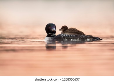 A Common Loon chick to get a free ride around on the back of its parent  to enjoy the beautiful sunrise with pink tones in the water.