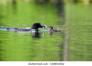 Common Loon chick swimming for its dinner from its parent Loon.  Photographed on a lake in New Hampshire, USA.