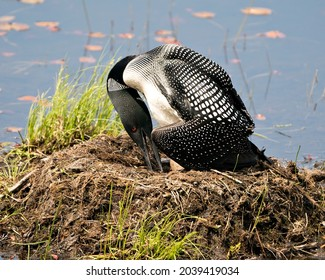 Common Loon close-up view nesting on its nest and turning brood eggs  in its environment and habitat.  Loon on Nest and Eggs. Loon in Wetland. Loon on Lake Image. Picture. Portrait. Photo.