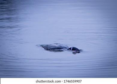 Common Loon Diving for Food