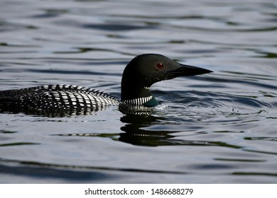 COMMON LOON FISHING ON SPURR LAKE, ONTARIO, CANADA