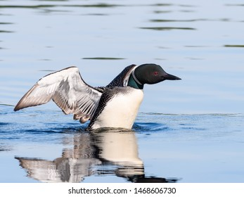 Common Loon Flapping its Wings against Blue Water