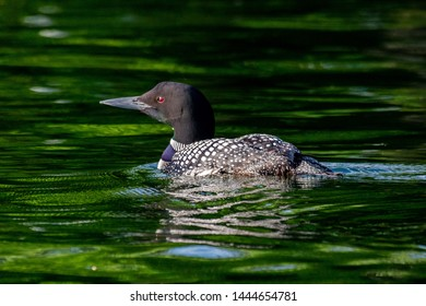 Common Loon floating on water