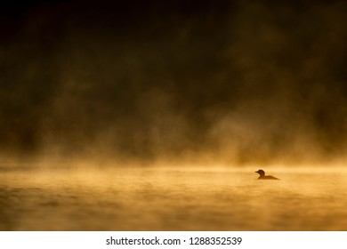 A Common Loon floats on a lake with a low hanging fog glowing orange all around it in the morning sun.