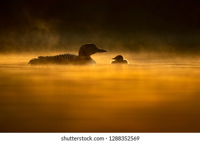 A Common Loon and its fuzzy chick float on the calm water in the glowing morning orange sun and water with a low fog on the water.