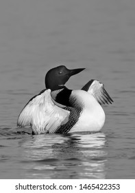 Common Loon (Gavia immer) in black and white flapping its wings in the morning on White Lake, Ontario, Canada