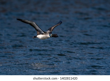Common Loon (Gavia immer) in breeding adult coloration flying over water.
