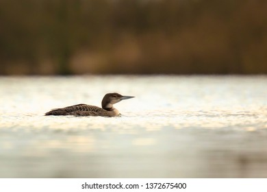 Common loon Gavia immer also known as the great northern diver or great northern loon hunting and eating crayfish