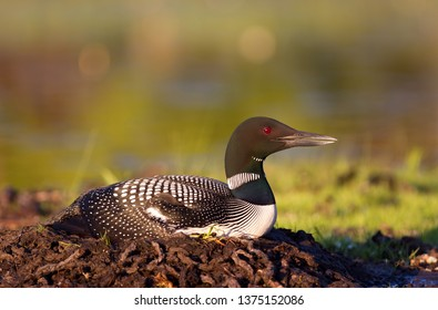 Common Loon (Gavia immer) on nest with two eggs on Wilson Lake, Que, Canada