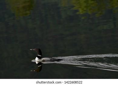 Common Loon (Gavia immer) on Reflections Lake, Alaska.