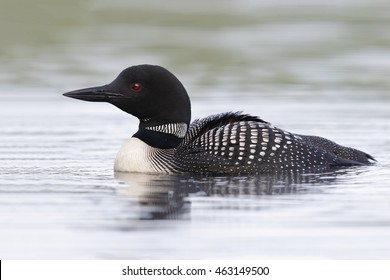 Common Loon (Gavia immer) on an Ontario lake in summer