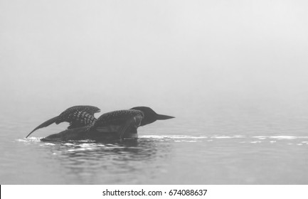 Common Loon (Gavia immer) spreads its wings on a lake