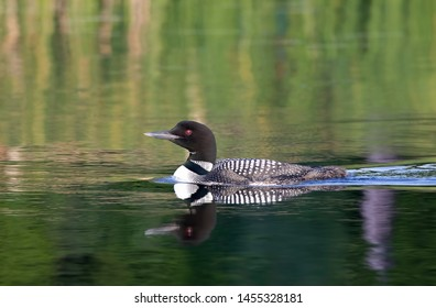 Common Loon (Gavia immer) swimming on a green reflective lake in Ontario, Canada