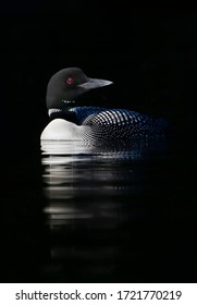 Common Loon (Gavia immer) swimming  in the shadows of Buck Lake, Ontario, Canada
