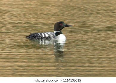 A common loon (gavia immer) swims in Fernan Lake by Coeur d'Alene, Idaho.