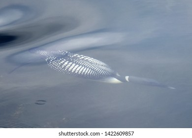 A common loon (Gavia immer) swims beneath the surface of Reflections Lake, Alaska.