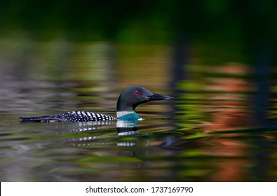 Common Loon Gavia immer swims in colourful water in spring on Wilson Lake, Que, Canada
