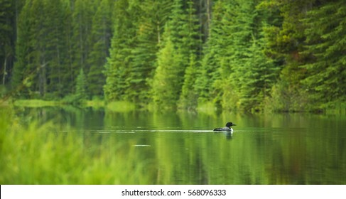 A common loon glides through a small lake in Banff National Park, Alberta.
