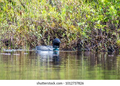 A Common Loon, or great Northern Diver, swimming at the edge of the lake.