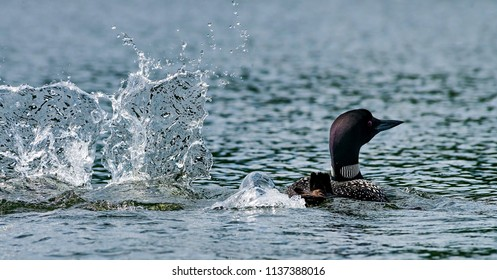 Common loon or great northern diver (Gavia immer). Common loon in breeding plumage. Loon is the official symbol of the province of Ontario and the state of Minnesota