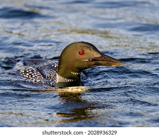 Common Loon head shot close-up profile view swimming in ripple water in its environment and habitat. Loon Picture. Portrait.