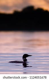 Common Loon in Minnesota Agnieszka Bacal.