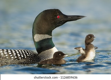 Common Loon in Minnesota Agnieszka Bacal.