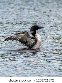 Common loon are minnesota state bird swimming in the nelson lake up in Hayward, WI