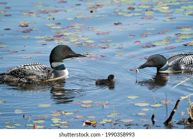 Common Loon parents and baby loon swimming with water lily pads and celebrating the miracle new life in their habitat surrounding and environment. Loon Picture. Image. Portrait. Photo.