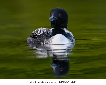 Common Loon with Reflection Swimming in Green Water
