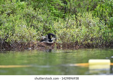 Common Loon sitting on its nest hidden among the bushes along the shoreline.  Photographed on a lake in New England, USA.