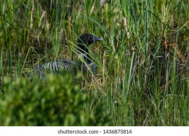 Common Loon Sitting on the Nest Hidden by Vegetation on the Lake