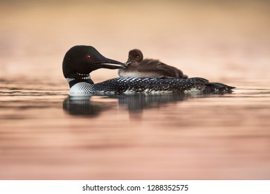 A Common Loon and its small chick riding on its back float in a sea of pastel pink water at sunrise.
