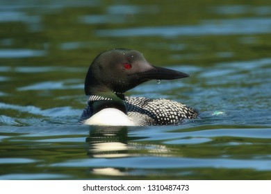 Common Loon Swimming
