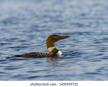 Common Loon Swimming in Blue Water