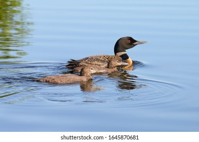 Common loon swimming clear blue lake water. Reflection of three lions. Mother and young