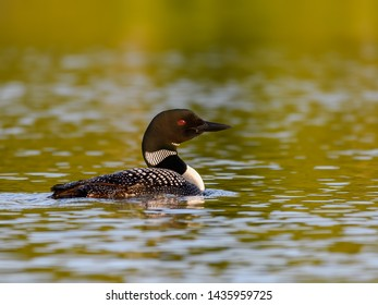 Common Loon Swimming in Early Morning Light