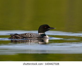 Common Loon Swimming in Green Water