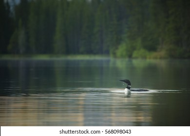A common loon swims through a small lake as the sun rises over Banff National Park, Alberta.