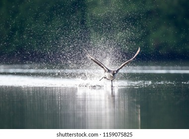 Common loon taking off from a lake in North Quebec Canada