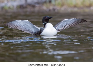 The Common loon, a wilderness icon, with wings fully out