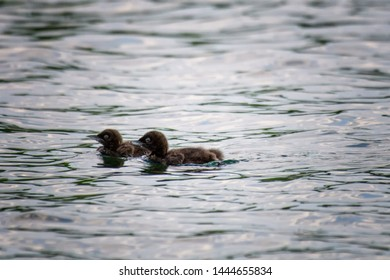 Common loons babies floating in the water without mother