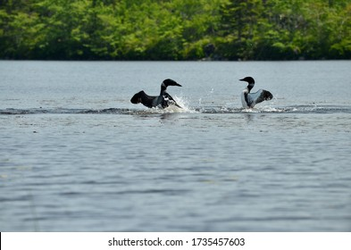 Common loons engaged in a mating dance on a lake in Nova Scotia, flapping their wings and splashing water around them.