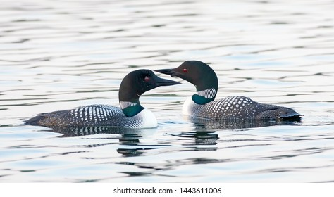 Common Loons (Gavia immer) swimming on a reflective lake in Ontario, Canada