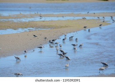 Common Loons at low tide on the ocean