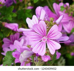 Common mallow in the beach of Sonabia, Spain