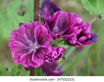 Common Mallow flowers. The scientific name is Malva sylvestris.