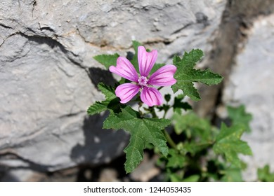 Common mallow or Malva sylvestris or Cheeses or High mallow or Tall mallow spreading herb plant with bright pinkish-purple with dark stripes flowers surrounded with dark green leaves